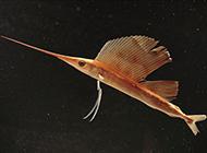 性凶猛的小旗鱼图片欣赏