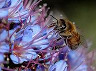 辛勤蜜蜂小动物图片特写