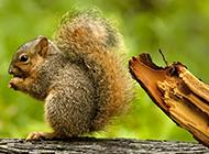 超级可爱小松鼠图片大全