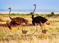 蓝颈鸵鸟草原奔跑图片