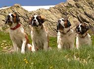 温顺的巨型圣伯纳犬户外写真图片