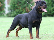 罗威纳犬凶猛攻击状态图片