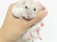 浅灰色奶茶仓鼠图片大全