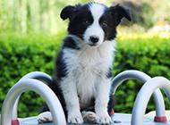 最萌狗狗小边境牧羊犬图片