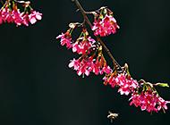 红白交汇 樱花高清唯美近拍