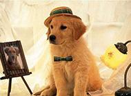 脾气温顺可爱的金毛狗萌图
