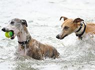 惠比特犬水中训练图片