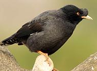 枝头栖息的海南黑八哥鸟图片