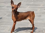 帅气可爱的纯种小鹿犬图片