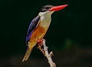 机灵可爱的蓝翠鸟图片