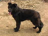 黑色短毛比利时牧羊犬吐舌图片