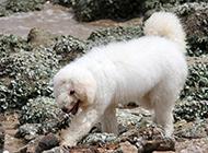 白色可蒙犬海边游玩图片