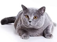 可爱的猫咪品种大全及图片