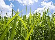 绿树绿草蓝天白云养眼桌面高清壁纸