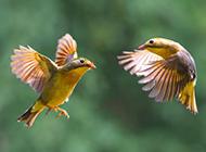 成双成对的相思鸟图片