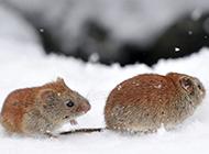 雪地中的田鼠图片大图