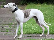 纯惠比特犬优雅自信图片