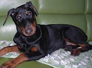 幼年杜宾犬无辜眼神图片