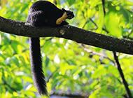 黑岩巨松鼠丛林嬉戏图片