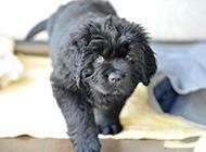 小纽芬兰犬姿态可爱图片