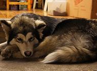 闷闷不乐的大型阿拉斯加犬图片