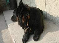 大黑熊犬居家慵懒抓拍图片