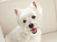 调皮好动的纯白小狗狗高清图片