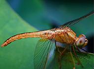 绿叶上的蜻蜓高清特写图片