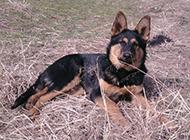 纯黑昆明犬草地打滚图片