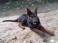 山西悍将莱州红犬图片欣赏