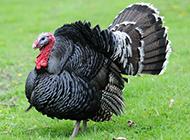 身姿矫健的大型火鸡图片