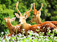 梅花鹿动物图片草原近距离特写