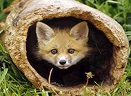 呆萌顽皮的小狐狸图片