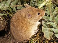养殖田鼠吃食物的图片