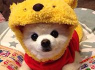 博美系俊介犬可爱造型图片