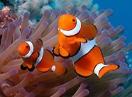 海底可爱的小丑鱼壁纸