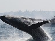 座头鲸群大规模迁徙 途径城市引游客围观