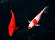 红白锦鲤水中畅游图片