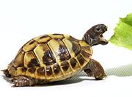 可爱宠物巴西小乌龟精美图片