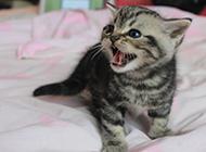 美国短毛猫图片小时候嗷嗷待哺