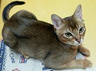 埃及猫图片乖巧模样惹人喜爱