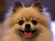 胖嘟嘟的可爱白博美犬图片