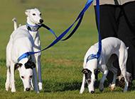 纯种惠比特犬草地休闲散步图片