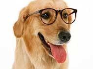 快乐活泼的金毛犬高清图