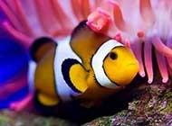 栖息于珊瑚礁的小丑鱼图片