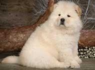 可爱的松狮犬狗狗高清图片