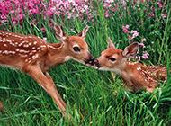 森林玩耍的梅花鹿图片