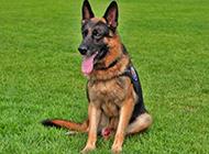 德国牧羊犬警犬帅气身姿图片