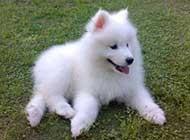 超可爱的萨摩耶犬高清图片