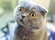 灰色折耳猫图片迷倒众生